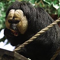 Weißgesichtssakis: Neue Affenart im Tiergarten Schönbrunn