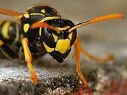 Wespenstiche können gefährlich sein