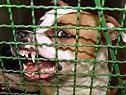 Geführliche Hunderassen sollen verboten werden