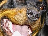 Rottweiler (Symbolbild)