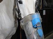 Der Husten des Lipizzanerhengstes Conversano Allegra wird mit einem Inhalator behandelt