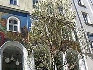 In der Kärntnerstraße blühen erstmals Magnolien