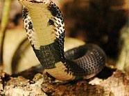 Die Kobra lebt nun im Haus des Meeres.