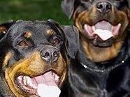 Rottweiler stehen auf der Wiener Kampfhund-Liste