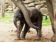 Das noch namenlose Alefantenjunge ist ab Mittwoch zu sehen.