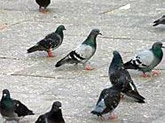 Tauben dürfen nicht überall in Wien gefüttert werden.