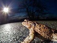 Achtung Autofahrer: Die Kröten wandern wieder.