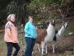 Die Lamas fühlen sich unter der Obhut der Seniorenbörse-Betreuerinnen wohl.