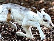 Noch ein bisschen wacklig auf den Beinen sind die jungen Rentiere im Tiergarten Schönbrunn.
