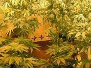 """""""Nur für den Eigenbedarf"""", so die Erklärung der Beschuldigten für die Cannabis-Plantage."""