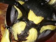 Forscher entdeckt Monster-Wespe, Symbolbild