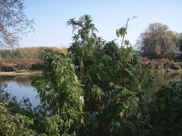 Wahre Hanfbäume wurden an diesem abgelegenen Ort abgeholzt