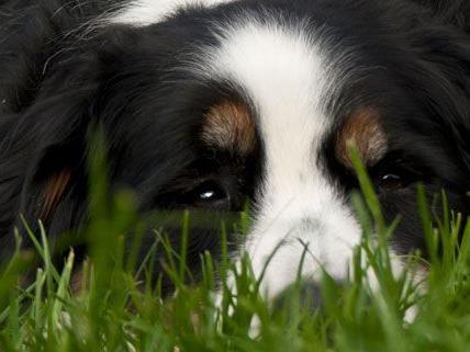 Hund in Niederösterreich vergiftet
