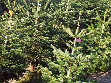 Der Kauf ist nicht das Problem- aber wie bringt man den Christbaum nach Hause?