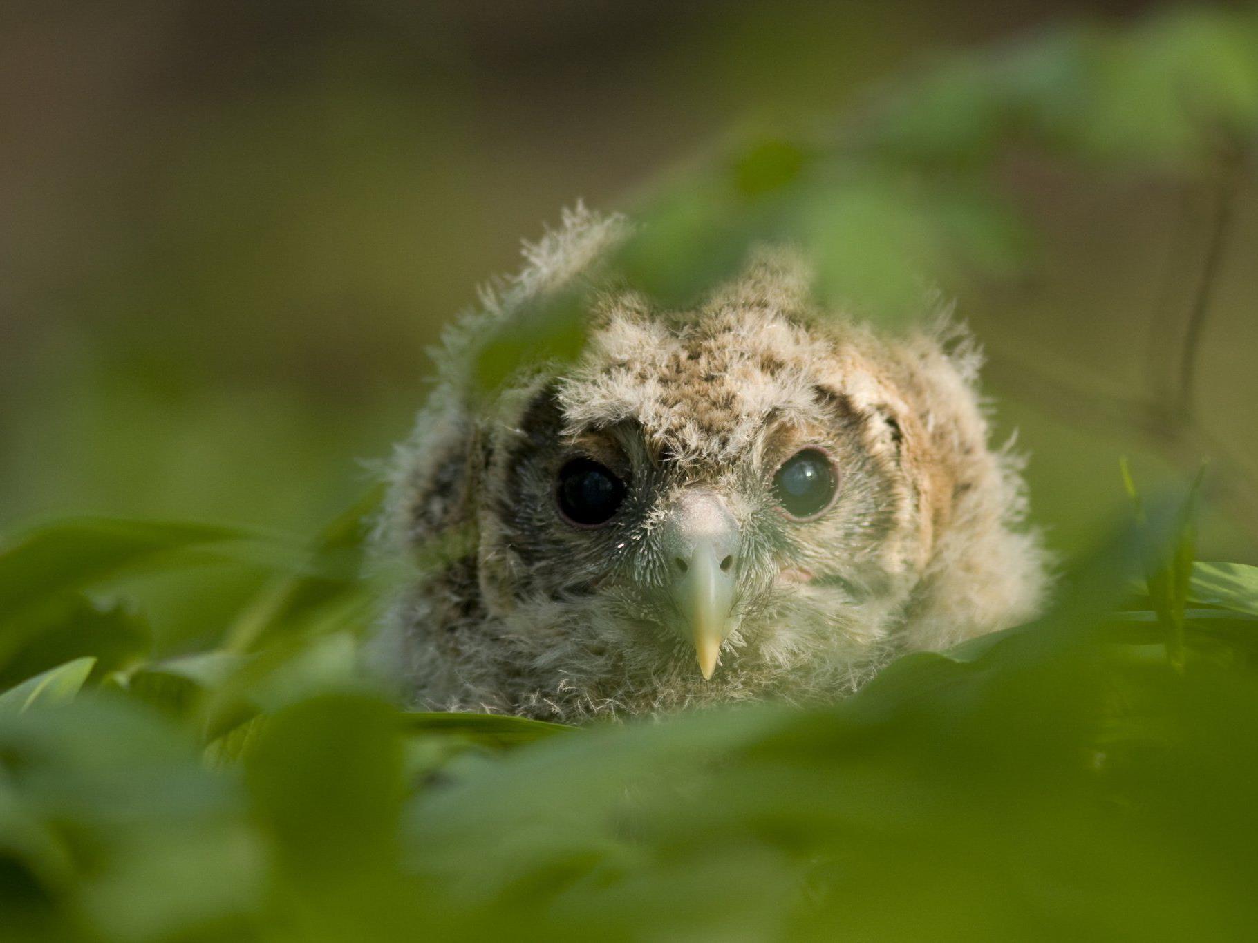 Der Habichtskauz, ein Eulenvogel, erobert langsam wieder einen Lebensraum in Niederösterreiche