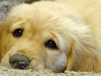 Hund in Oberösterreich vergiftet