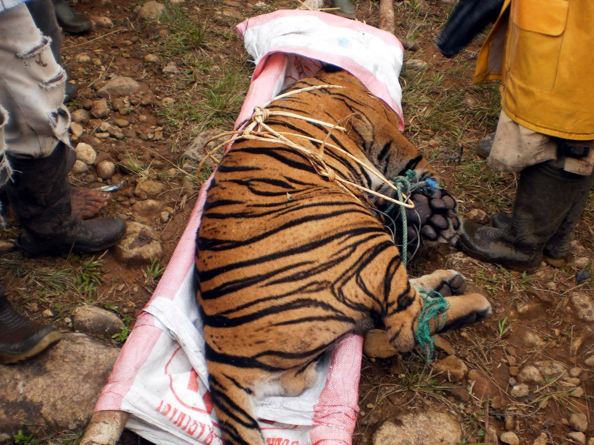 Tiger mit neun Speerstichen schwer verletzt