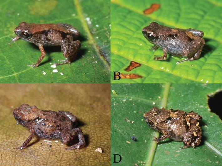 Die Bildkombo zeigt die auf Neuguinea neu entdeckten, nur acht bis neun Millimeter grossen Miniaturfroscharten Paedophryne dekot (A,B) und Paedophryne verrucosa (C,D).