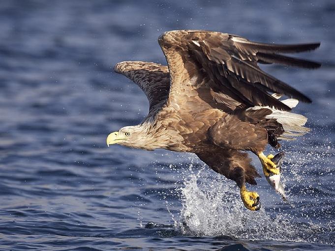 Der majestätische Seeadler macht sich in Ostösterreich ein Zuhause