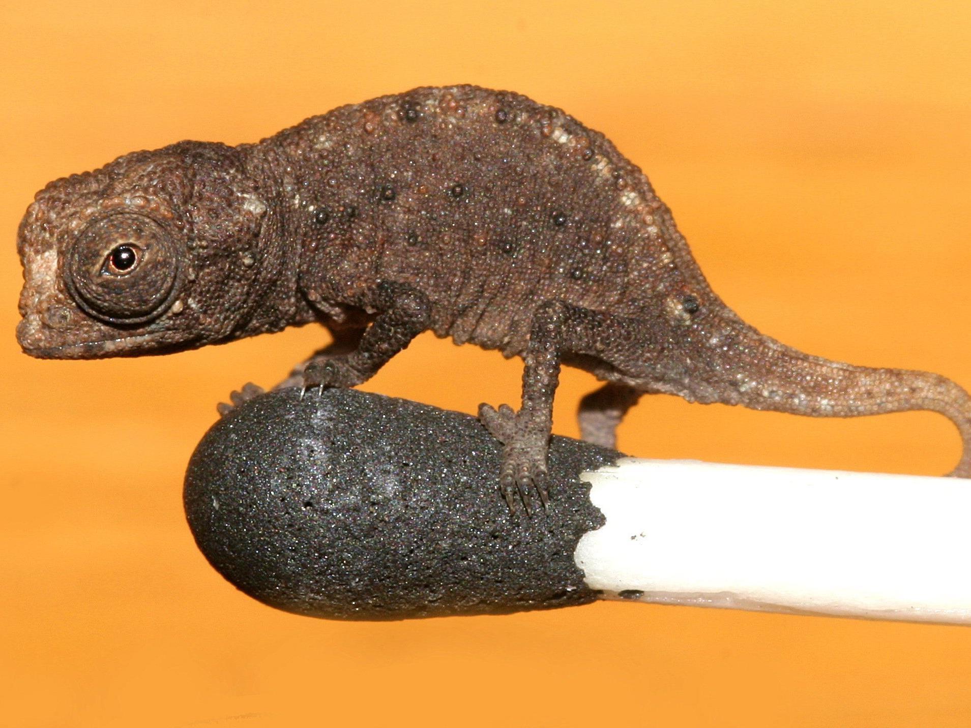 Reptilien können auf Streichhölzern balancieren.