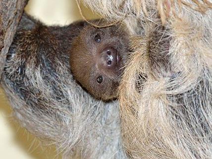 Das niedliche Faultier-Baby schaut aus seiner Hängeposition putzmunter in die Welt