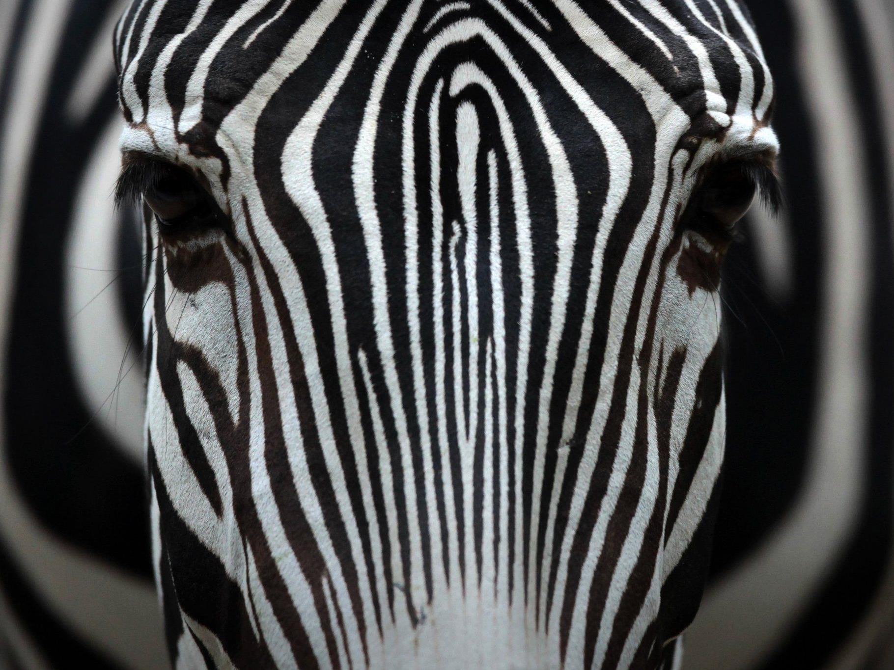 Insekten fliegen nicht auf Zebrastreifen.