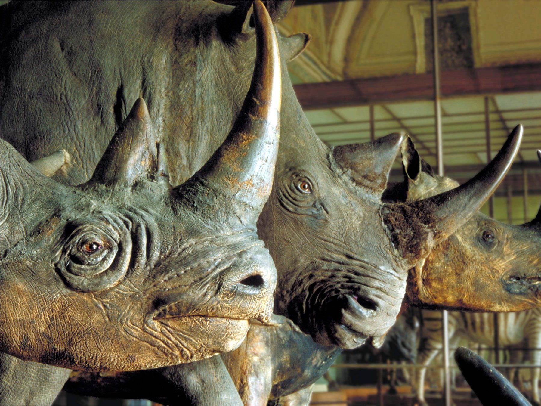 Die Nashorn-Sammlung im Naturhistorischen genießen besonderen Schutz