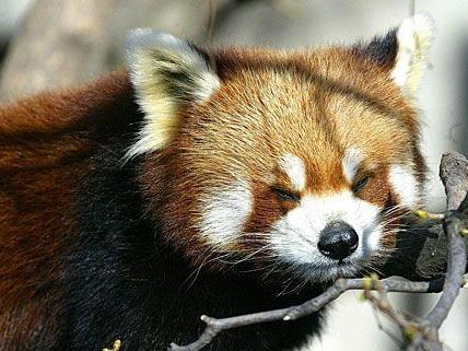 Dieser kleine Rote Panda genießt in Schönbrunn sichtlich den Frühling