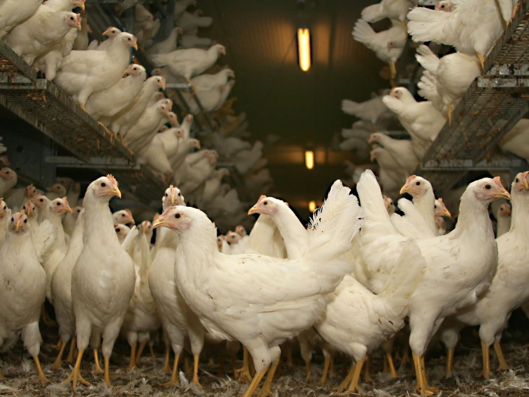 Bei Geflügel (Geflügelprodukten) gibt es vor allem zwei Keimbelastungen, die Probleme bereiten: Salmonellen und Bakterien vom Typ Campylobacter.