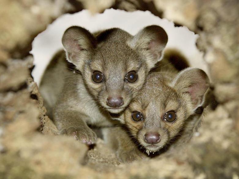 Fossas, die einzigartigen Schleichkatzen Madagaskars