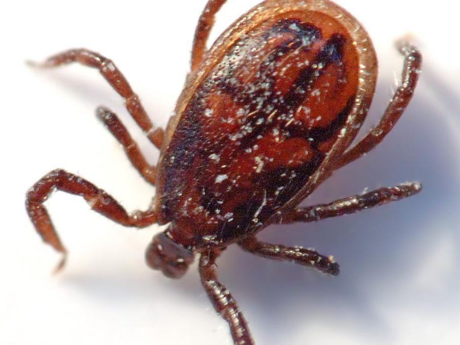 Kleine Zecke, tödliche Wirkung: Die Zeckenimpfung schützt