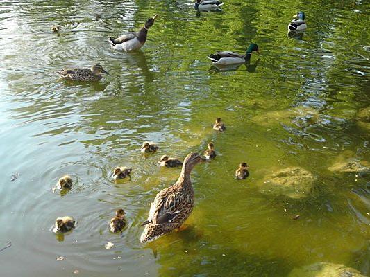 Unser Leserreporter freute sich über niedliche kleine Enten im Stadtpark
