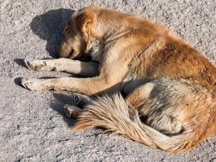 In Korneuburg treibt ein Hundehasser sein Unwesen - er schoss einen Mischling an