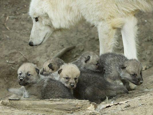 Sehen Sie selbst, wie niedlich die Baby-Wölfe in Schönbrunn sind - wir verlosen Tiergarten-Tickets!