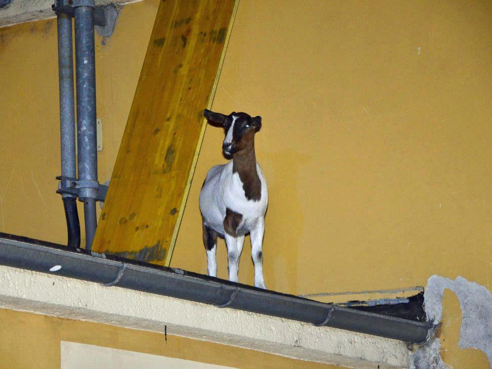 Wie diese Ternitzer Ziege aufs Dach kam, ist leider noch ungeklärt