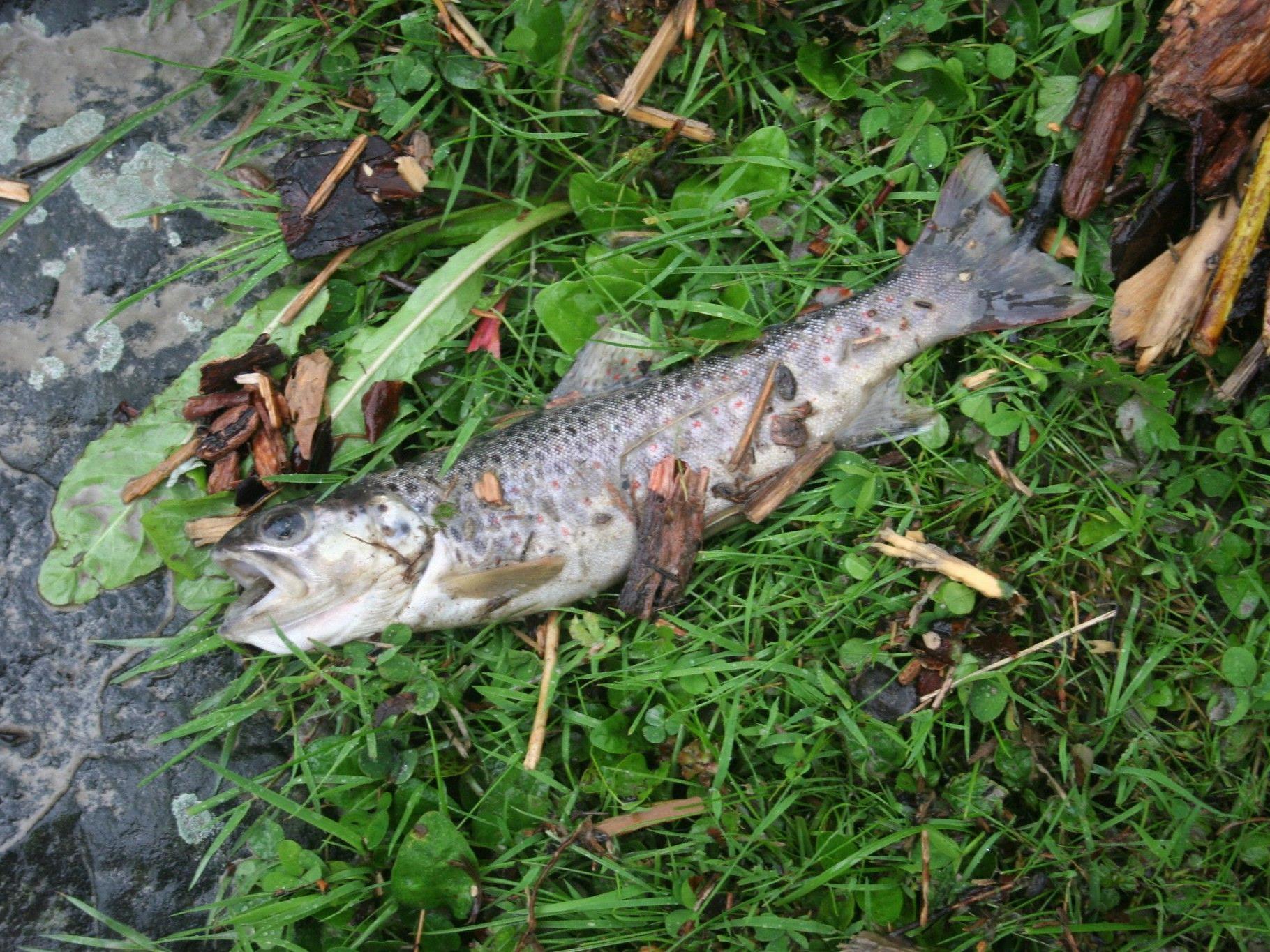 Rund 200 Kilo verschiedenster Fischarten verendeten in einem Fischteich in Gerau.