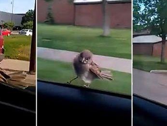 Schlauer Vogel fährt mit Auto mit.