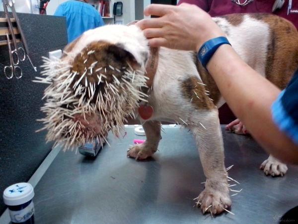 Bella Mae kam einem Stachelschwein zu nahe, schmerzhaft nahe.