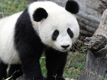 Panda Fu Long feiert seinen Geburtstag