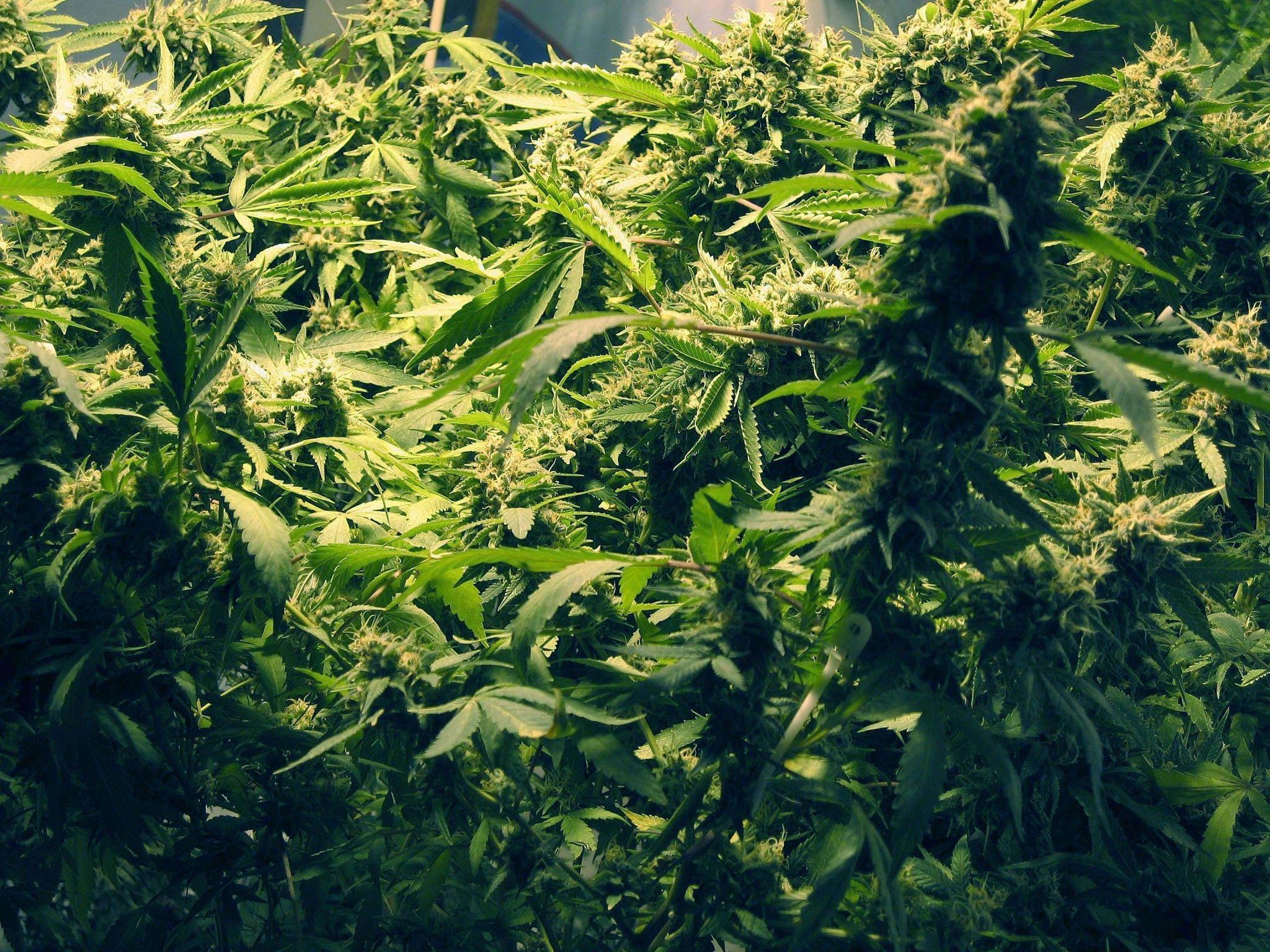 In der Wohnung eines 23-jährigen Oberösterreichers wurden insgesamt 24 Cannabis-Pflanzen sichergestellt.