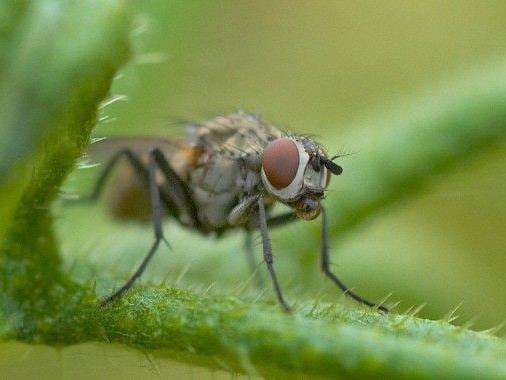 Experiment mit Fruchtfliegen gibt Aufschluss zum Altern.