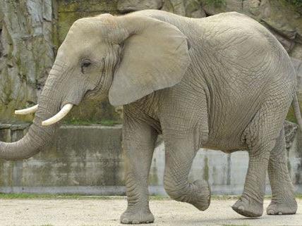 Mit Tiefkühlsamen wurde die Elefantendame Tonga befruchtet.