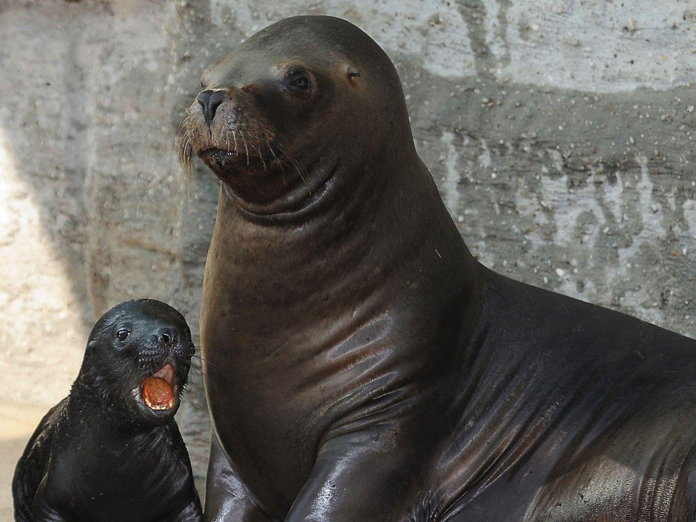 Im Juli 2011 brachte das Robbenweibchen Enya ihren Nachwuchs Diego zur Welt.