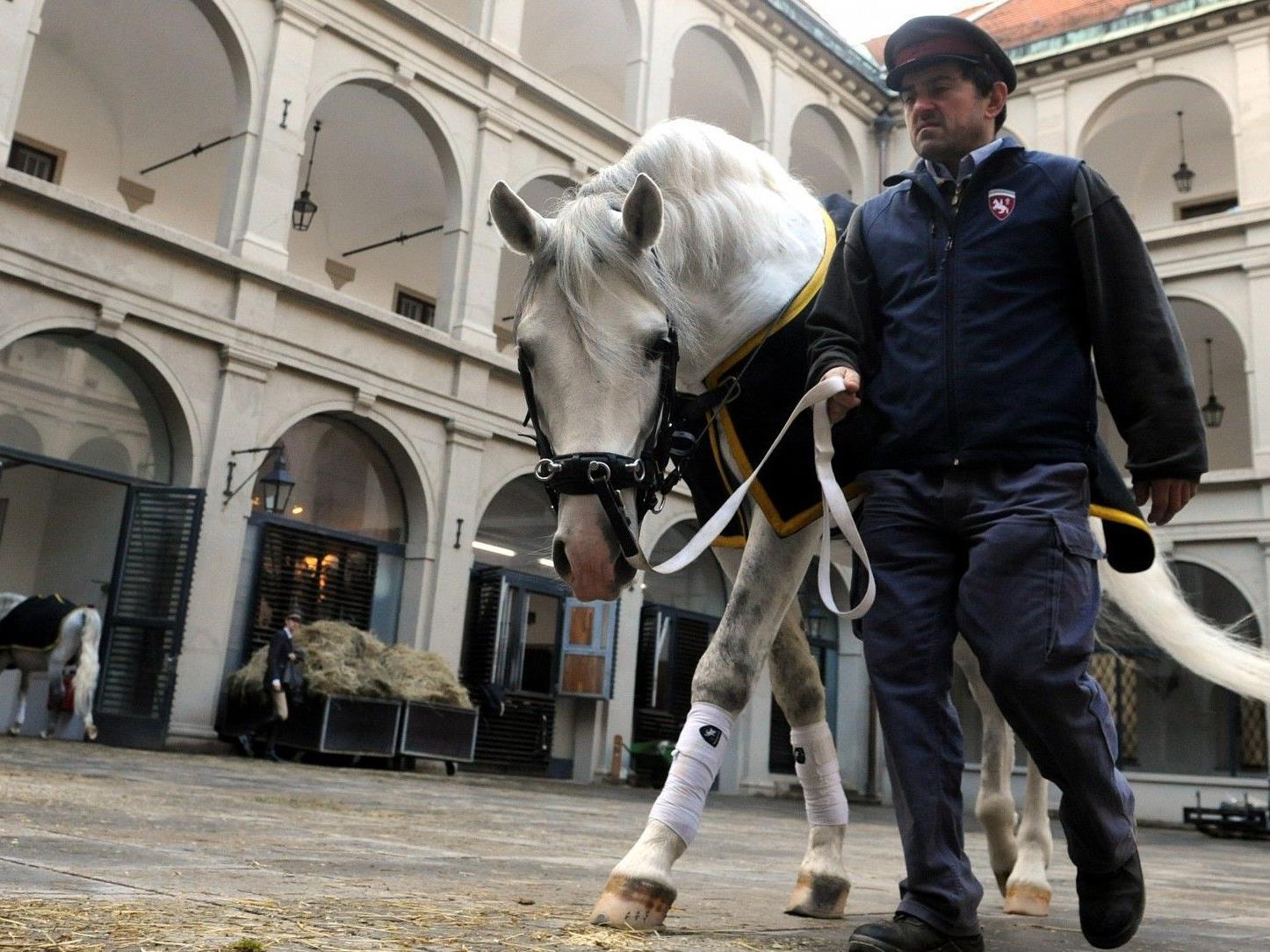 Die Lipizzaner der Spanischen Hofreitschule werden nun doch nicht durch die Wiener Innenstadt reiten.