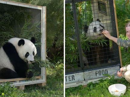 Ein Panda in der Box: Fu Hu fliegt von Wien nach China.
