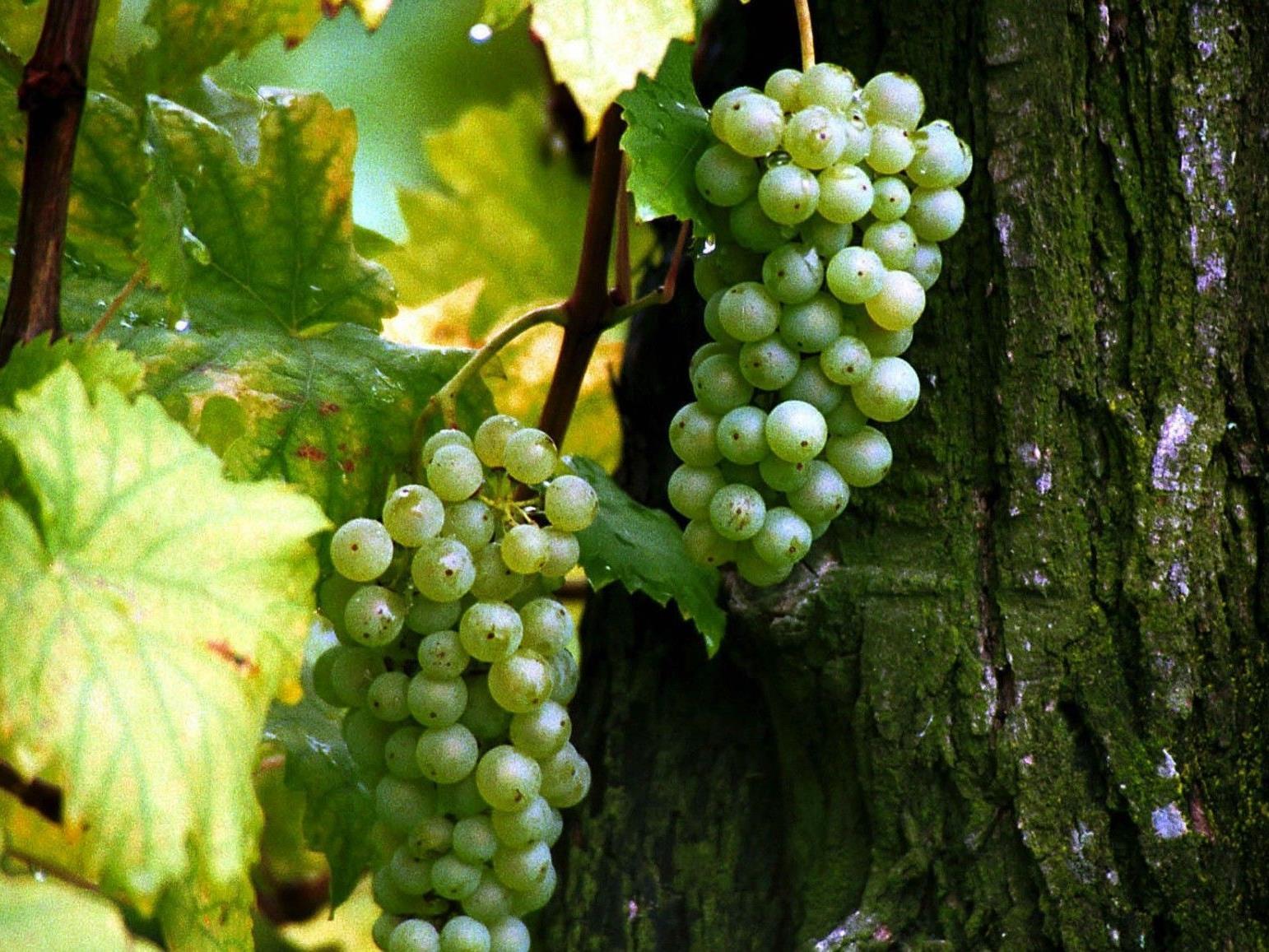 Am 29. und 30. Spetember findet der bereits 6. Wiener Weinwandertag statt.