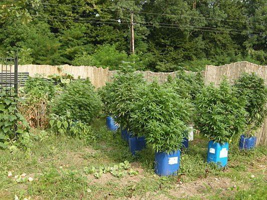 Zahlreiche Cannabispflanzen wurden in Niederösterreich sichergestellt