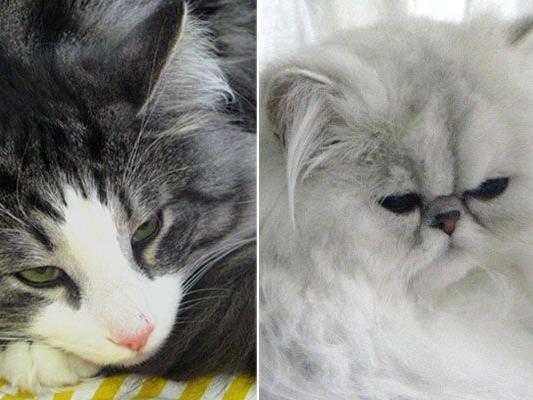 Bei der Katzenausstellung in Hollabrunn sind verschiedenste Tiere zu bewundern