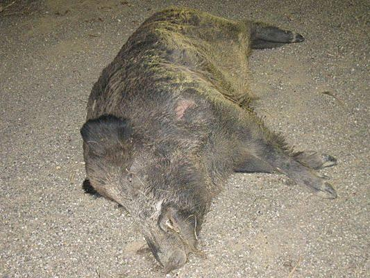 Der Lenker hatte Glück, doch für das Wildschwein endete der Unfall auf der B4 in Tulln tödlich