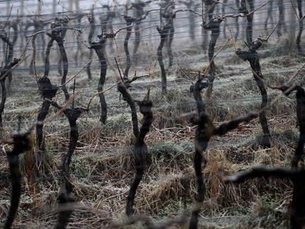 Ein Weingarten im Nebel - Wien hat wahrlich schönere Seiten.